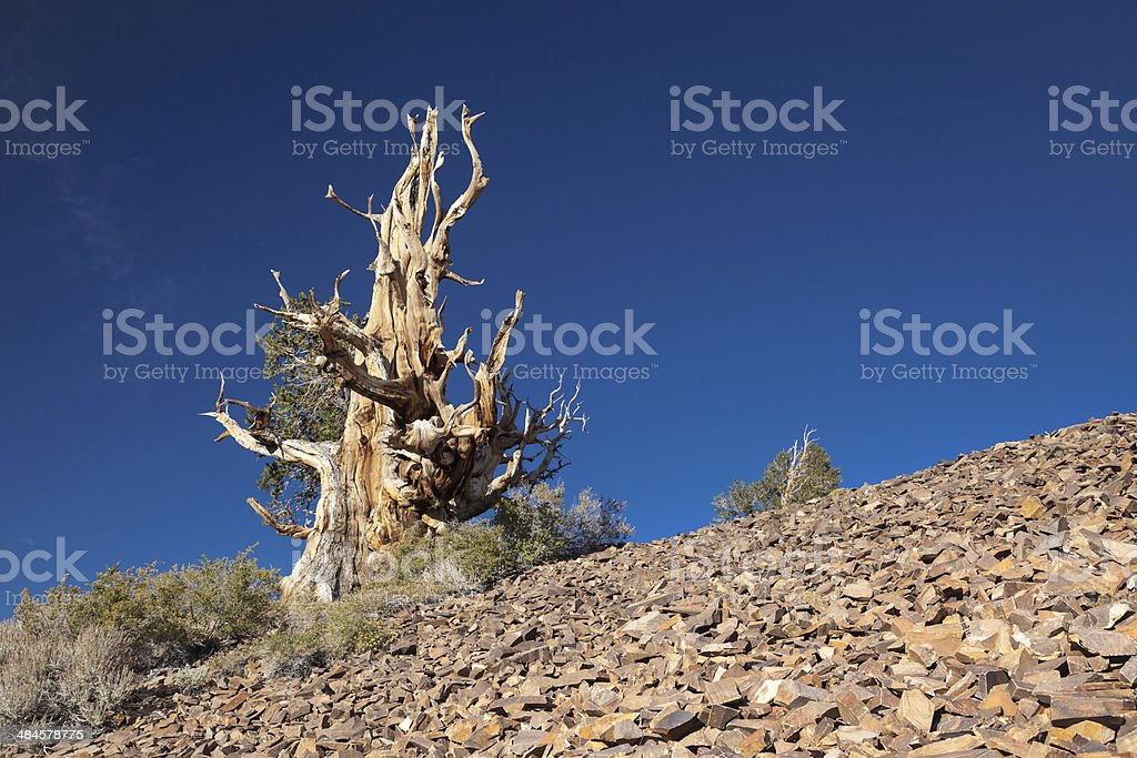 Bristlecone Pine Tree royalty-free stock photo