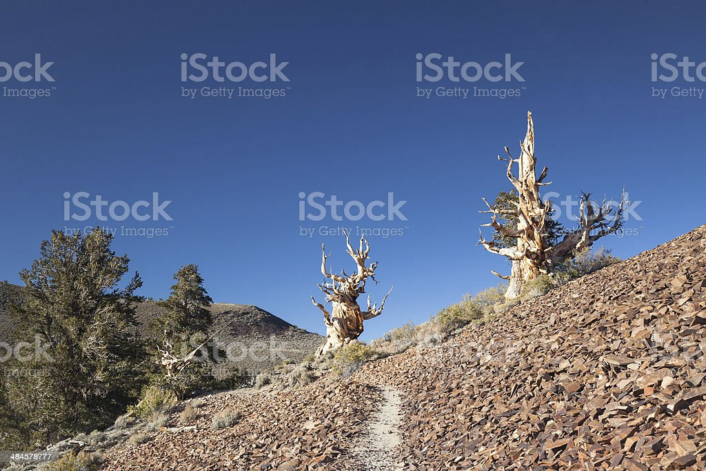 Bristlecone Pine Trees royalty-free stock photo