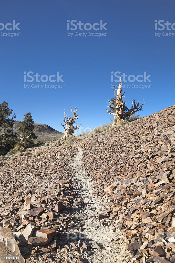 Bristlecone Pine Trees royalty-free stock photo