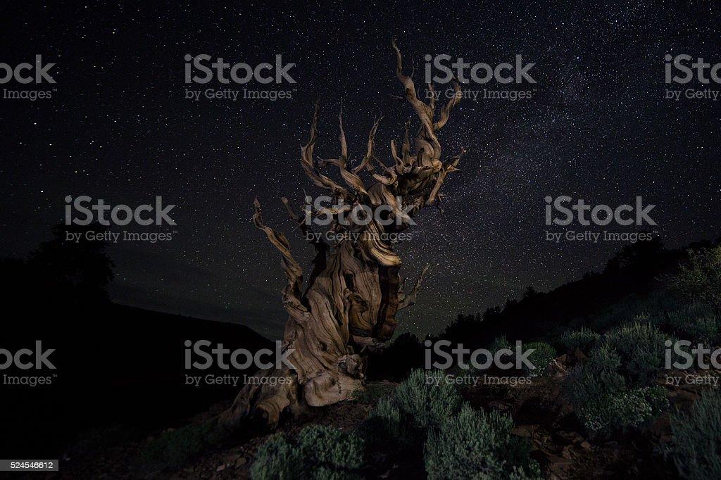 Bristlecone Pine Under the Stars stock photo