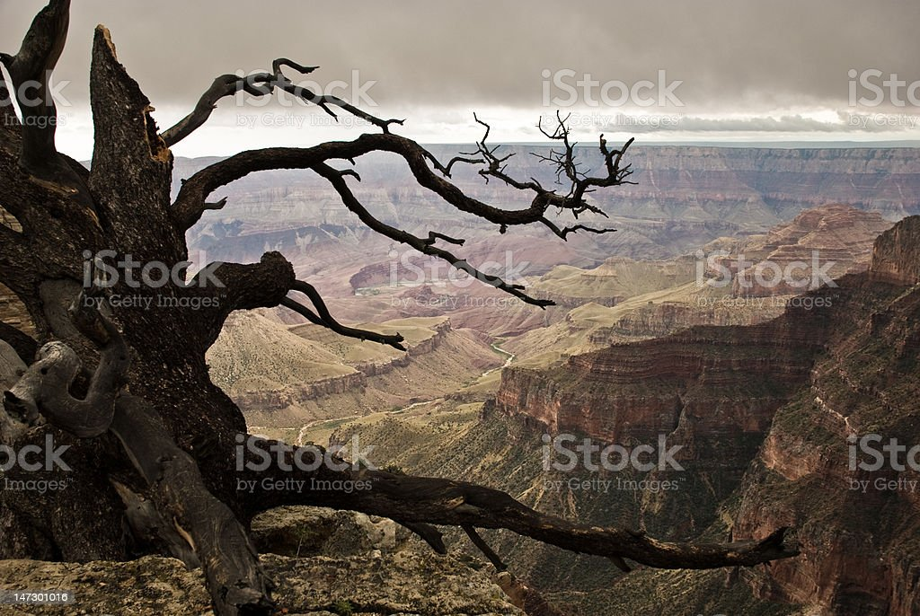 Bristlecone pine, Unkar delta in the distance royalty-free stock photo