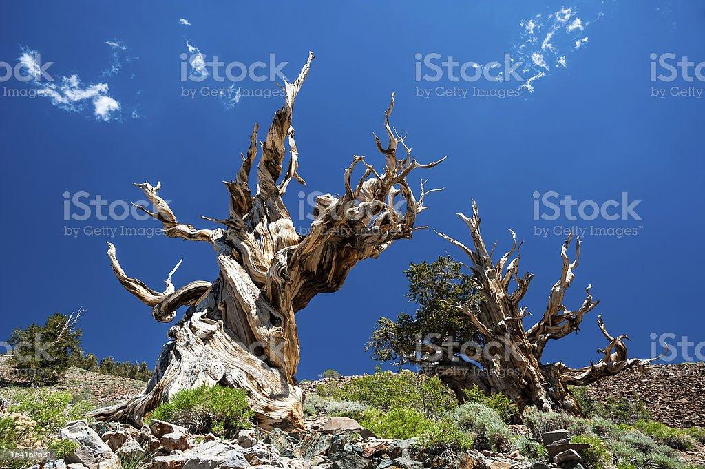 Bristlecone Pine/Grannenkiefern stock photo