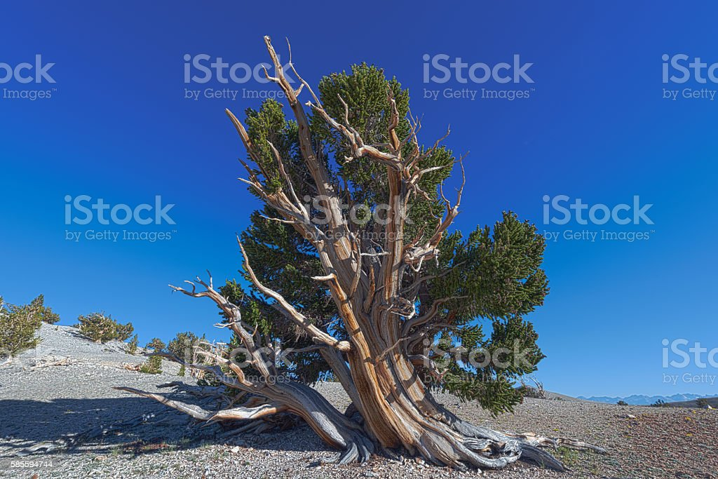Bristlecone Pines with Sierra Nevadas in the Distance stock photo