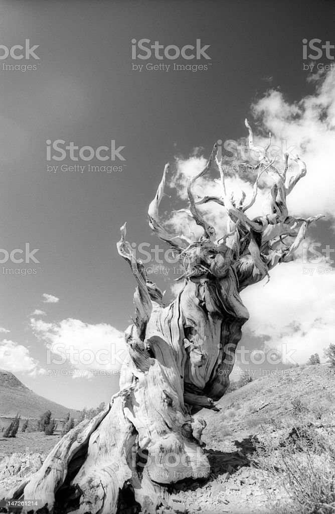bristlecone_1 royalty-free stock photo
