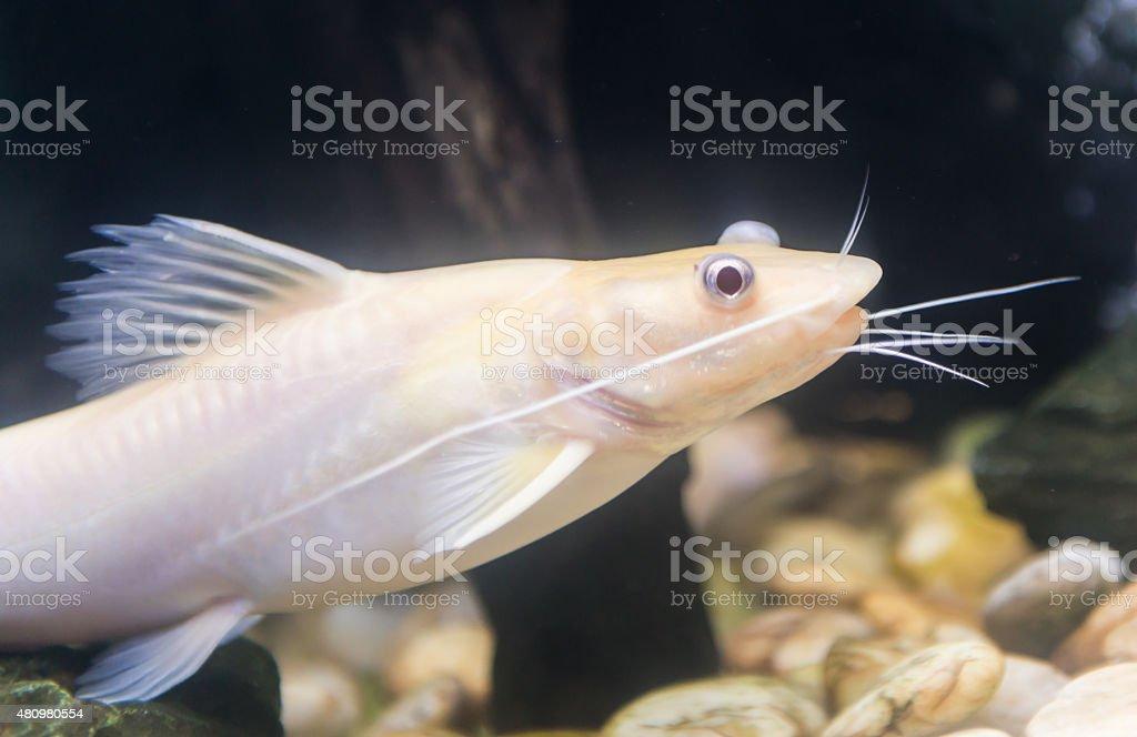 Bristlenose Pleco, catfish albino stock photo