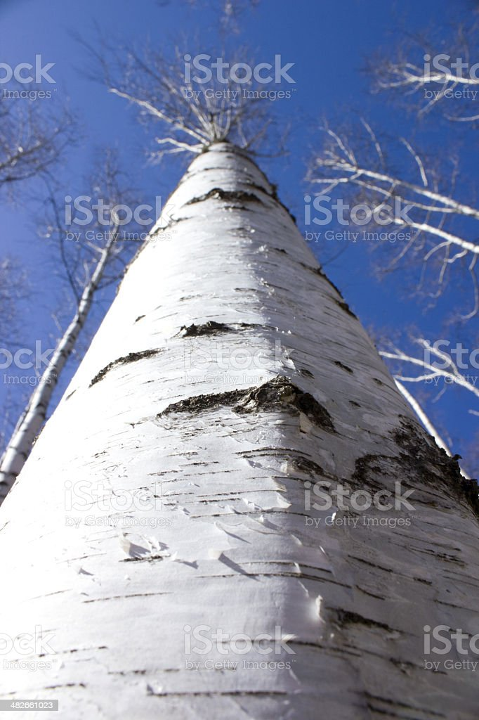 Britch tree royalty-free stock photo