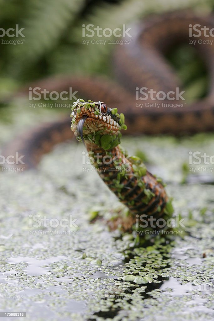 British Adder tasting the air stock photo