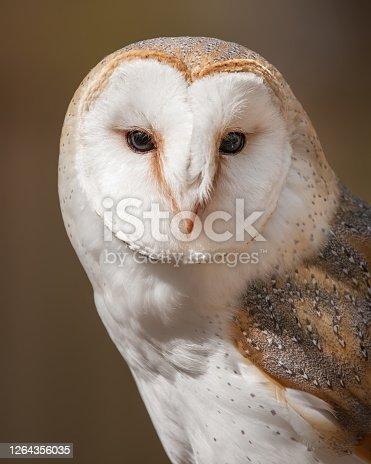 A portrait of a British Barn Owl.
