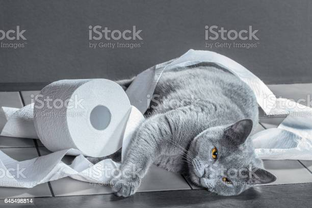 British blue cat and toilet paper picture id645498814?b=1&k=6&m=645498814&s=612x612&h=gkhlfk9h8f5aso4pibb4ptzresyxitxo89jrkgvjgya=