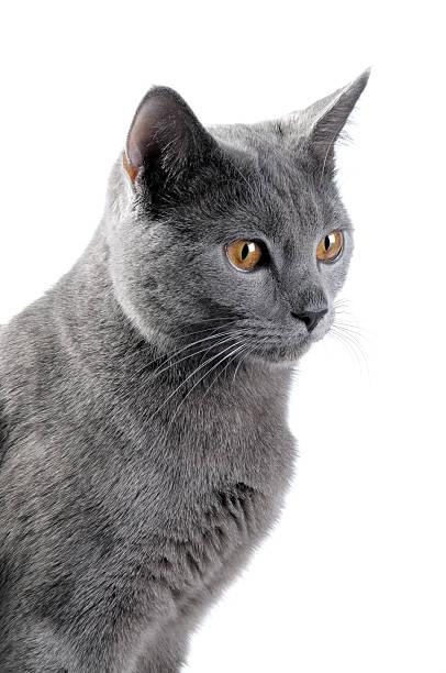 britische blue cat - karthäuserkatze stock-fotos und bilder