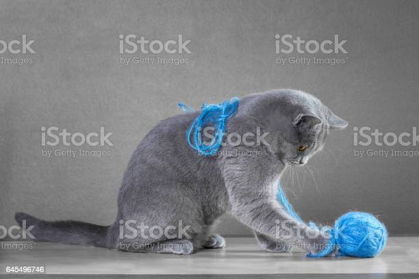 British blue cat playing with ball of yarn picture id645496746?b=1&k=6&m=645496746&s=612x612&h=25y  k1yd5ye4 w4vgsx0t gzrxtcfnxv1jutf45q48=