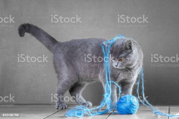 British blue cat playing with ball of yarn picture id645496768?b=1&k=6&m=645496768&s=612x612&h=qxbub8qc81 dihmfabll3bnkprmvts3jp9cbsscmihi=