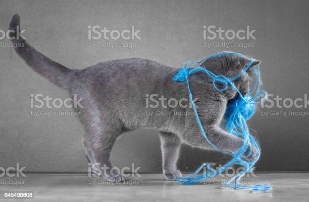 British blue cat playing with ball of yarn picture id645498808?b=1&k=6&m=645498808&s=612x612&h=0tjbipj4dekcf t36shcsbfkpztacc ha3zyrodkdge=