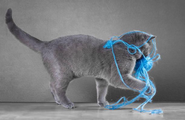 British blue cat playing with ball of yarn picture id645498808?b=1&k=6&m=645498808&s=612x612&w=0&h=bet4u21zz h7ull0rdklbhtmnxqoh gmxzu1gtjgcac=