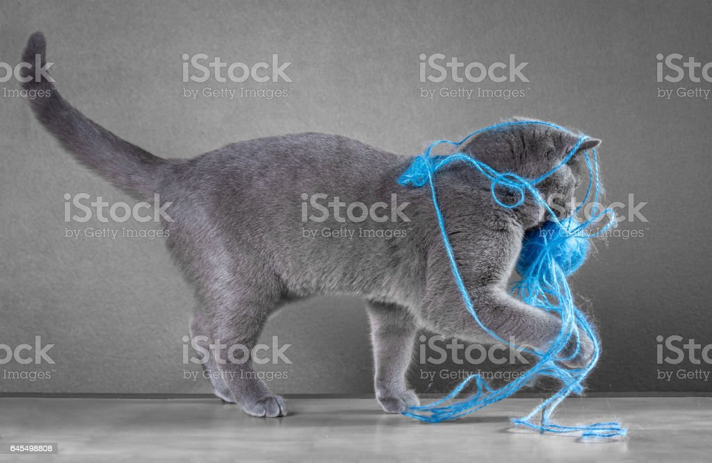 British Blue cat playing with ball of yarn stock photo