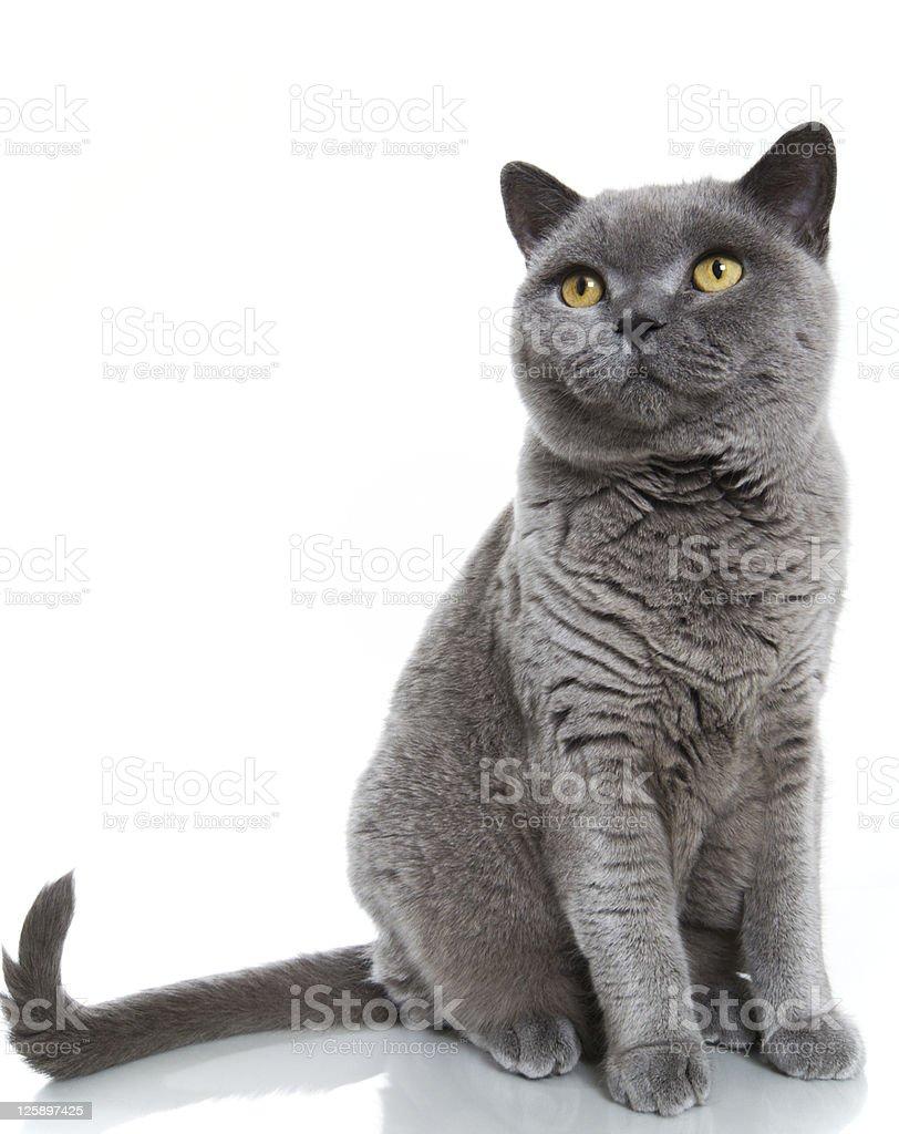 British Blue Shorthair Cat stock photo