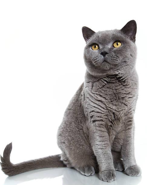 Gato de pelo corto británica azul - foto de stock