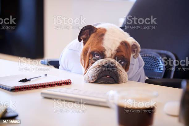 British bulldog dressed as businessman looking sad at desk picture id962466980?b=1&k=6&m=962466980&s=612x612&h=ruub8xinngwszs jdy4kvwk3akxvhruat8odfaaoxz0=