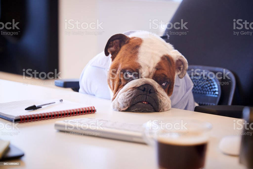 British Bulldog Dressed As Businessman Looking Sad At Desk stock photo