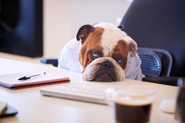 British Bulldog Dressed As Businessman Looking Sad At Desk British Bulldog Dressed As Businessman Looking Sad At Desk amusing stock pictures, royalty-free photos & images