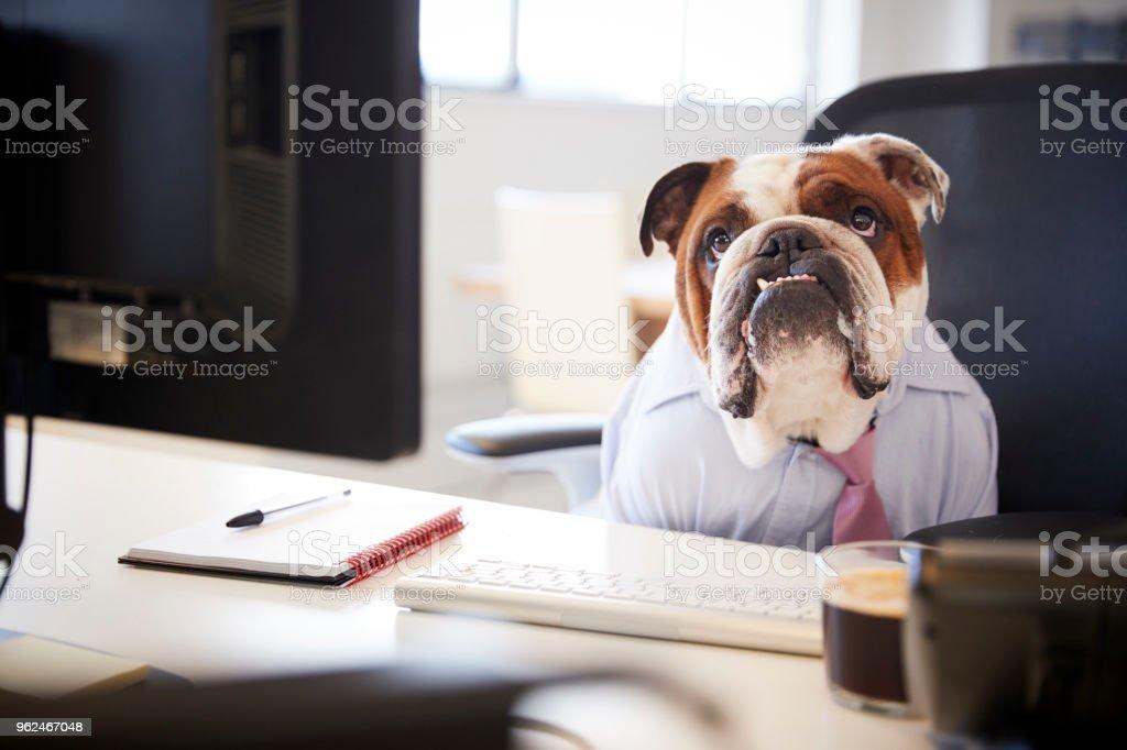Bulldog británico vestido como hombre de negocios trabaja en el escritorio de la computadora foto de stock libre de derechos