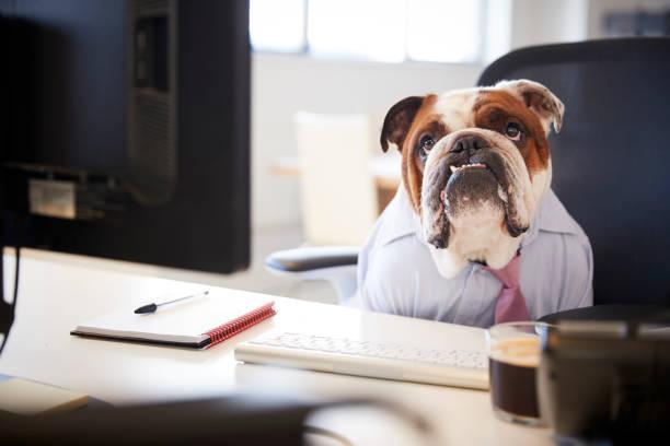 britische bulldogge, verkleidet als geschäftsmann an schreibtisch am computer arbeitet - geschäftskleidung stock-fotos und bilder