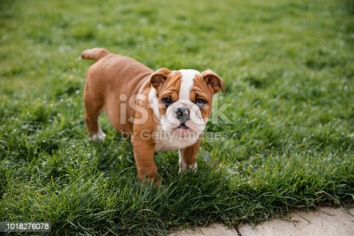 A close up shot of a cute british bulldog standing up on the grass.