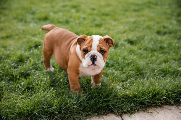 British Bulldog In The Garden A close up shot of a cute british bulldog standing up on the grass. bulldog stock pictures, royalty-free photos & images