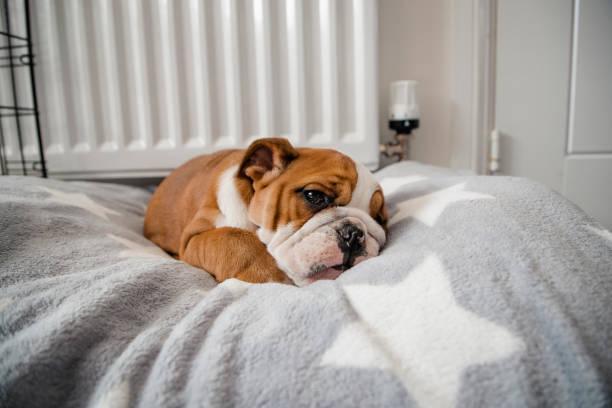 british bulldog tumbado en su cama - couch potato refrán en inglés fotografías e imágenes de stock