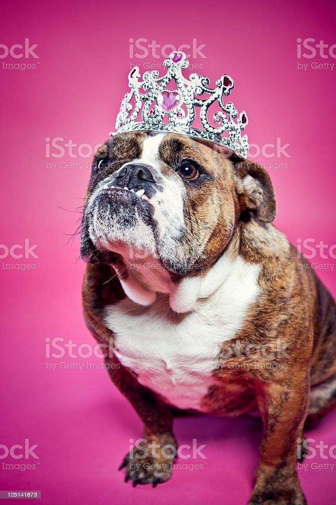 British Bulldog Pink Princess stock photo