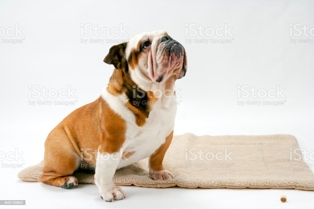 A British Bulldog sits patiently on a white background looking upwards stock photo