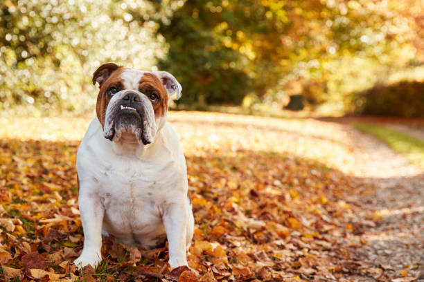 British Bulldog Sitting By Path In Autumn Landscape British Bulldog Sitting By Path In Autumn Landscape bulldog stock pictures, royalty-free photos & images