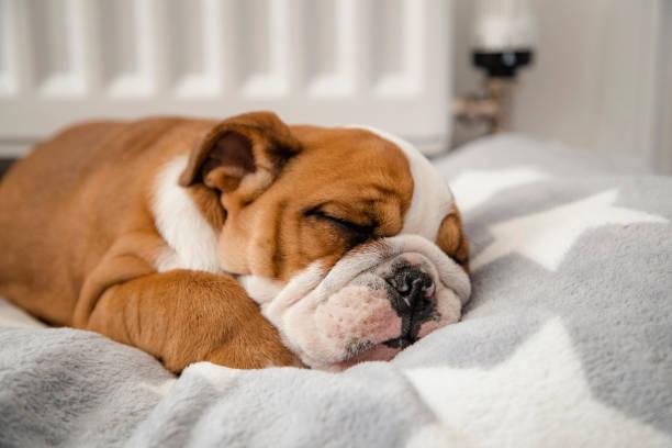 british bulldog dormir - couch potato refrán en inglés fotografías e imágenes de stock