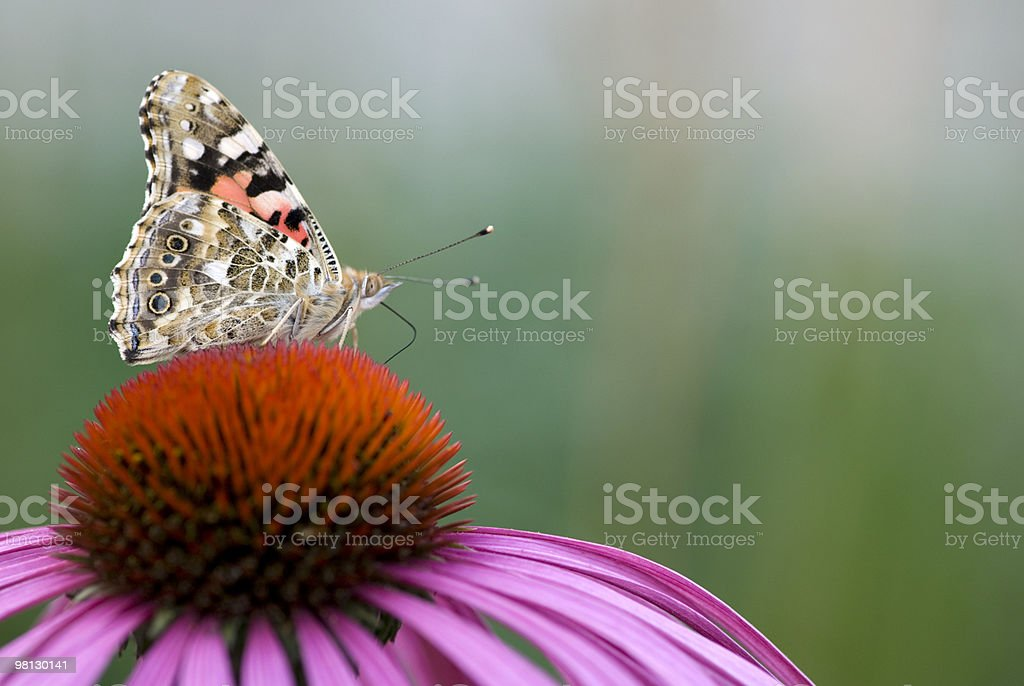 British Butterfly on flower royalty-free stock photo