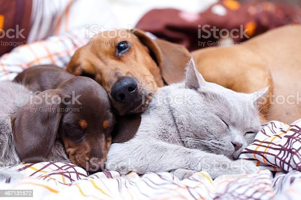 British cat and dog dachshund picture id467131572?b=1&k=6&m=467131572&s=612x612&h=qv5eg5thpyflaqbxup3fmqqcgdvng8h0pe 9psaf3ew=