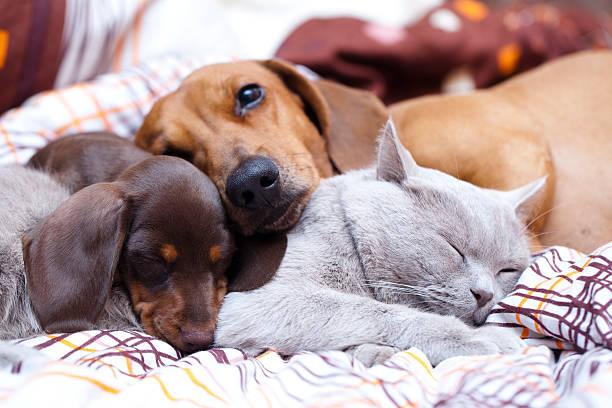 British cat and dog dachshund picture id467131572?b=1&k=6&m=467131572&s=612x612&w=0&h=5frfh5x90wfnogihmm9zkwhegre9jc1q fcqtbbss5q=