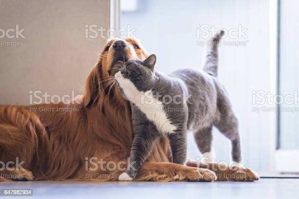 British cat and golden retriever picture id647982934?b=1&k=6&m=647982934&s=612x612&h=tcivsuymm3rggtvaf7cprziz93x3y bjxyoxi0aauay=