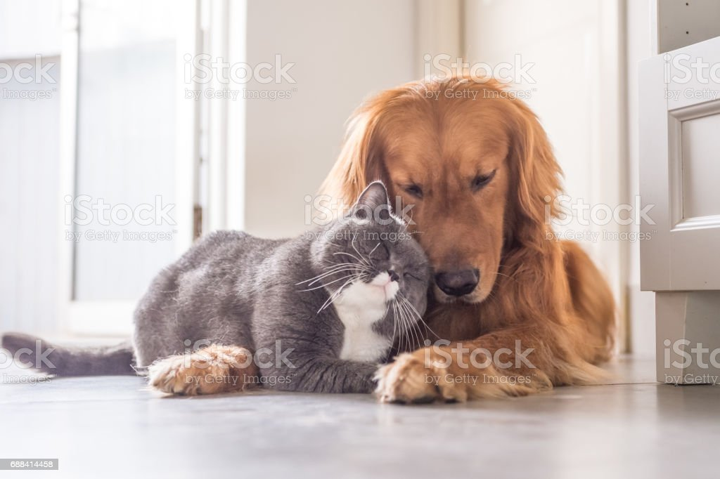 Gato britânico e Golden Retriever foto royalty-free