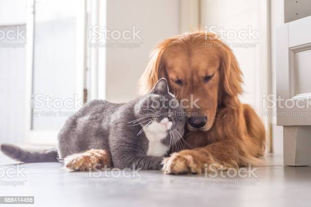 British cat and golden retriever picture id688414458?b=1&k=6&m=688414458&s=612x612&h=2ao1grs  q29704ecy1dwqbp5dw2j6he3hfalqfu28q=