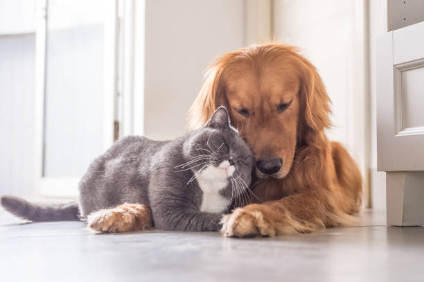 British cat and Golden Retriever stock photo