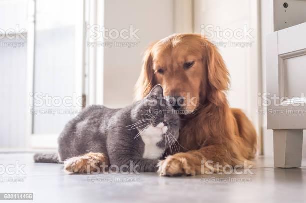 British cat and golden retriever picture id688414466?b=1&k=6&m=688414466&s=612x612&h=ywqinm1myzkr  8kzd7wkqhqxifgmmu0txfxmfx7dji=