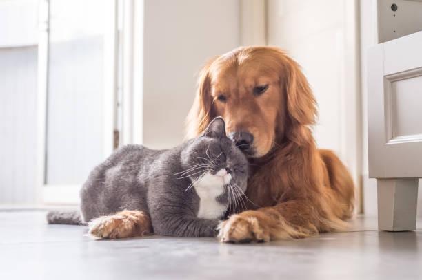 British cat and golden retriever picture id688414466?b=1&k=6&m=688414466&s=612x612&w=0&h=2gtmun3oh1vpaskuw5wctqxxrqwfp7hpbagwextdegw=