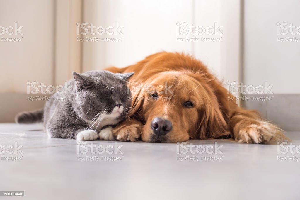 Gato britânico e Golden Retriever - foto de acervo