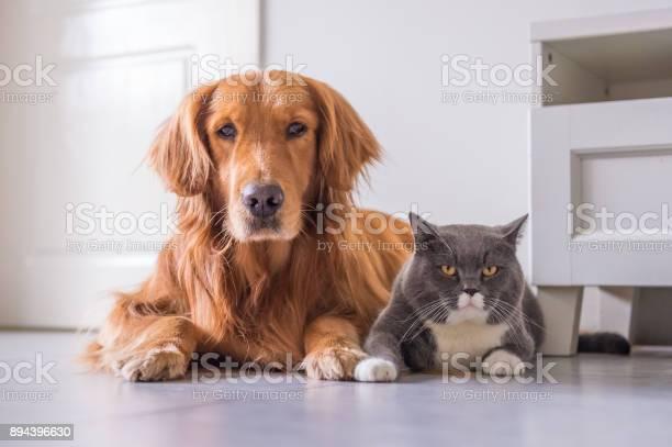 British cat and golden retriever picture id894396630?b=1&k=6&m=894396630&s=612x612&h=cyvifluatic7nxmg2en8nik5xpnibi8ae3bx28cexjs=