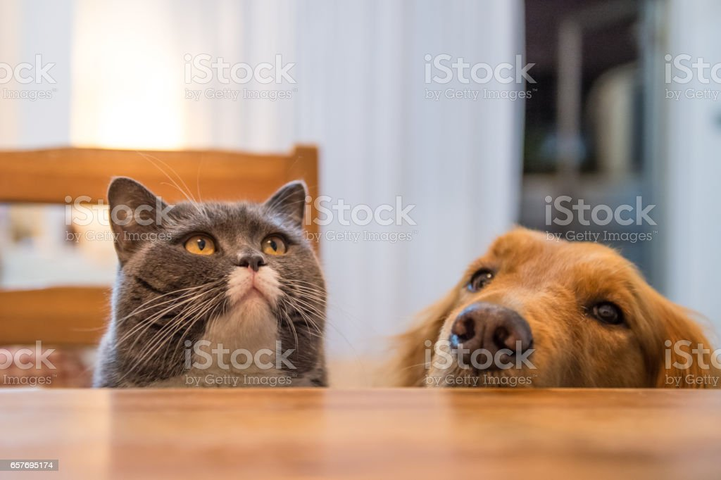Gato britânico e Golden Retriever, Indoor tiro - foto de acervo