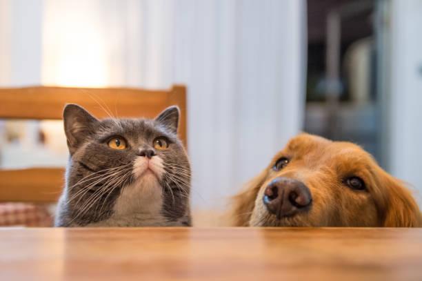 Gato britânico e Golden Retriever, Indoor tiro - foto de acervo