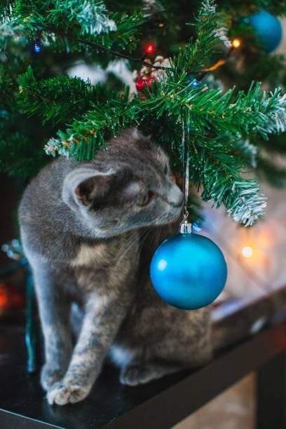 British cat at the xmas tree picture id1124421990?b=1&k=6&m=1124421990&s=612x612&w=0&h=meti5wdmrj0eyngozk037bttumzqsfbkrdfwflvg5po=