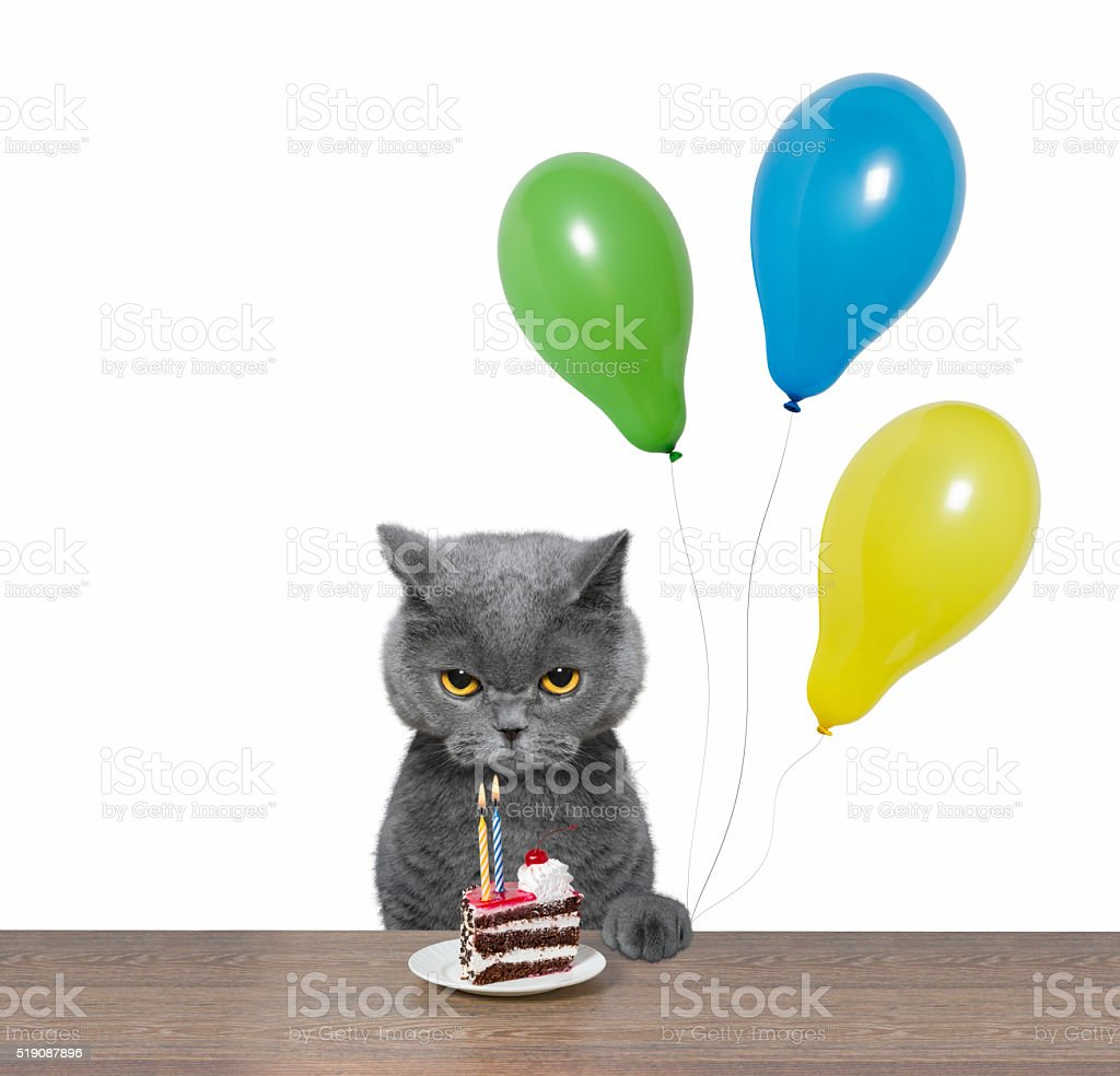 British cat celebrating birthday with piece of cake and balloons stock photo