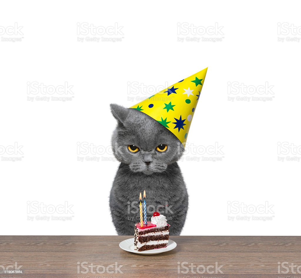 British cat celebrating birthday with piece of cake stock photo