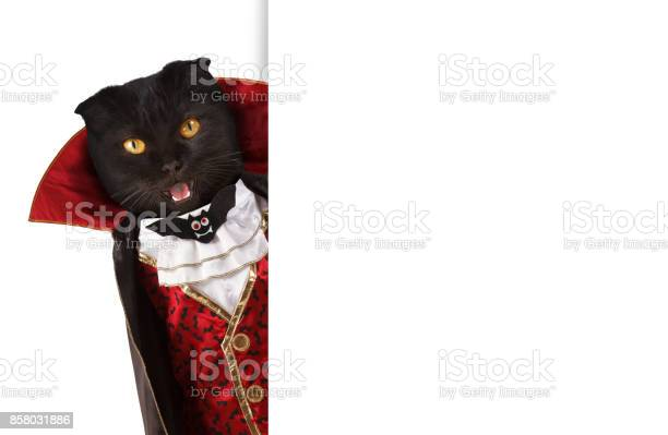 British cat is celebrating a halloween and wearing a suit of vampire picture id858031886?b=1&k=6&m=858031886&s=612x612&h=sdukyysvit0cktwx x54fyachzwumrpehifzekei4ac=